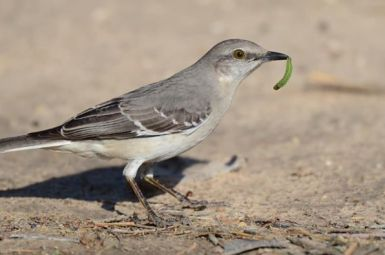 Adult northern mockingbird (Credit:: National Audubon Society)