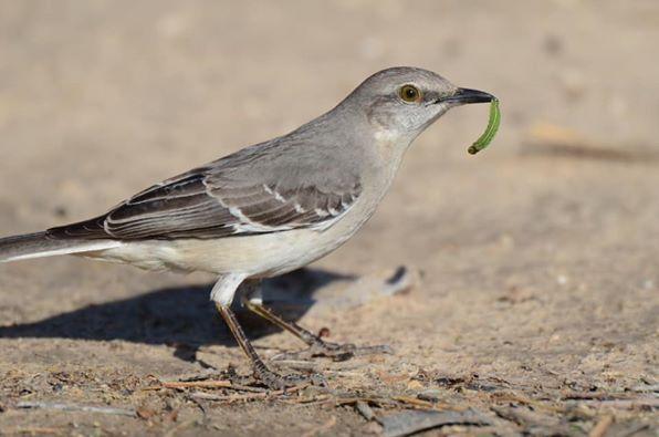 Adult northern mockingbird (Credit:: National Audubon Society)