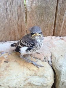 Juvenile northern mockingbird (Credit: unknown)